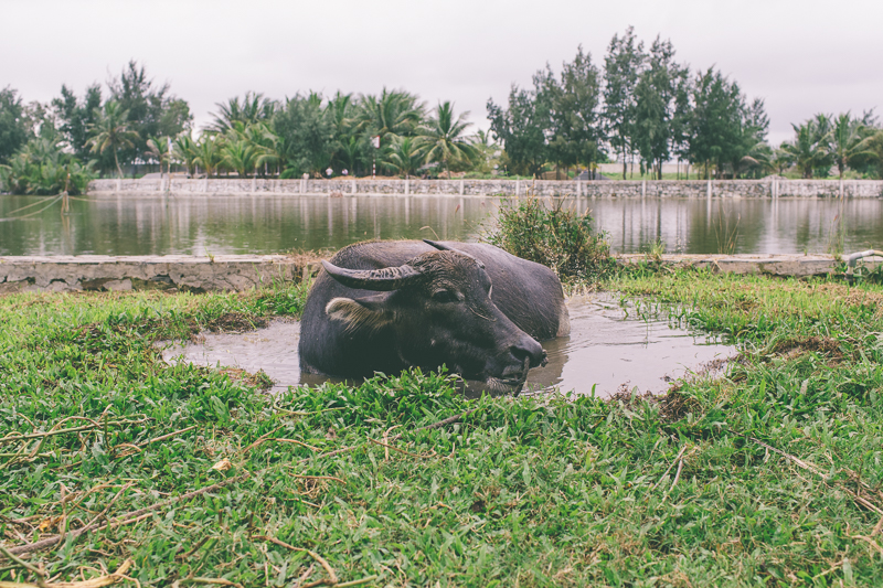 Vietnam-Water-Buffalo